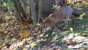 Piękny dziki czerwony lis w lesie (Vulpes vulpes) zbiory