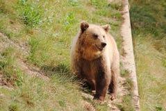 Europejski brown niedźwiedź patrzeje dla karmowy Niemcy Zdjęcie Royalty Free
