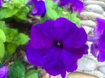 Piękny dziki fiołkowy kwiat fotografia stock