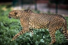 Piękny Dziki geparda chodzić ostrożny na zieleni polach, Zamyka up Zdjęcia Stock