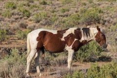 Piękny Dziki koń w Wysokiej pustyni zdjęcie royalty free
