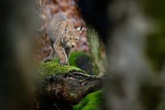 Piękny dziki kota ryś w natura lasu siedlisku Eurazjatycki ryś w lasu, brzozy i sosny rysia lasowym lying on the beach na zieleni Zdjęcia Royalty Free