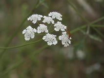 Piękny dziki kwiat Śródziemnomorski littoral zdjęcia royalty free
