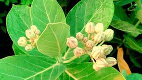 piękny dziki kwiat i pączek białe perły kwitniemy Obrazy Stock