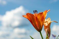 Piękny dziki kwitnący pomarańczowy leluja kwiatów dorośnięcie w zielonej trawie na błękitnym chmurnego nieba tle Kolorowy, kwiat obraz stock