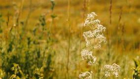Piękny dzikiej trawy kwitnienie przy latem Zamyka up biała dzika trawa zdjęcie wideo