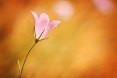 Dzwonkowy kwiat przeciw pomarańczowemu tłu Zdjęcia Royalty Free