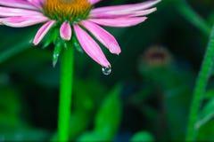 Piękny Echinacea purpurea zdjęcia stock