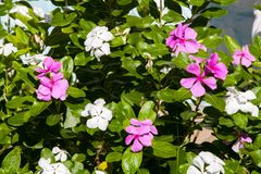 Piękny egzotyczny bez i biali kwiaty na krzaku z zielenią le Fotografia Royalty Free