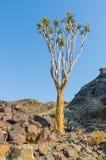 Piękny egzotyczny kołczanu drzewo w skalistym i suchym Namibijskim krajobrazie, Namibia, afryka poludniowa Obrazy Royalty Free