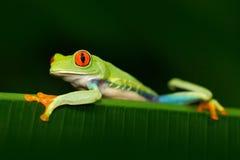 Piękny egzotyczny zwierzę od środkowego Ameryka Przyglądająca się Drzewna żaba, Agalychnis callidryas, zwierzę z dużymi czerwonym Fotografia Stock