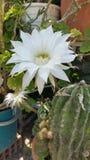 Piękny Epiphyllum oxypetalum kwiat w ogródzie obrazy stock