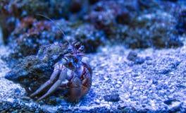 Piękny eremita krab w jego skorupy zakończeniu up na piaska tle Obraz Royalty Free