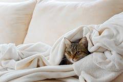 Piękny europejski kot jest relaksujący w miękkiej białej koc zdjęcie royalty free