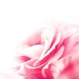 Piękny Eustoma kwiat na Białym tle Fotografia Royalty Free