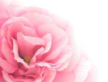Piękny Eustoma kwiat na Białym tle Obraz Stock