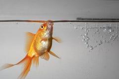 Piękny fantail goldfish w akwarium pod wodą Obrazy Stock