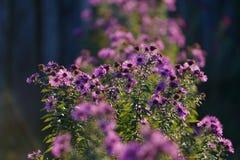 Piękny fiołek kwitnie w ogródzie Obraz Royalty Free