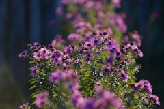 Piękny fiołek kwitnie w ogródzie Zdjęcia Stock