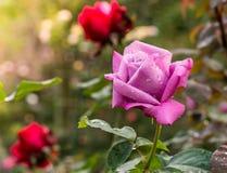 Piękny fiołek wzrastał w ogródzie fotografia royalty free