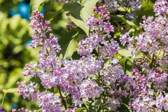 Piękny fiołkowy bez na tle zieleń opuszcza zbliżenie Zdjęcie Royalty Free