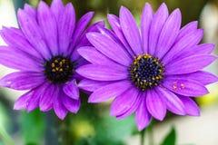 Pi?kny fio?kowy kwiat, Makro- strza? fotografia royalty free