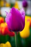 piękny fioletowy tulipan Flowerbackground, gardenflowers Ogrodowy kwiat pionowe tła abstrakcyjne Zdjęcia Royalty Free
