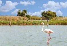 Piękny flaminga ptak zdjęcia royalty free
