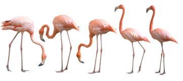 Piękny flaminga ptak odizolowywający Zdjęcia Royalty Free