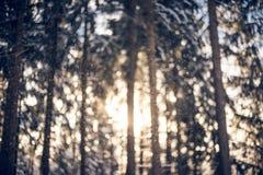 Piękny gęsty las z wysokimi cienkimi drzewami zdjęcia stock