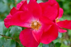Piękny głęboki - menchii róża zdjęcie royalty free