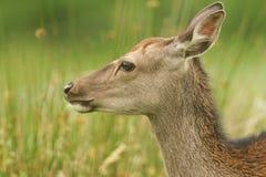 Piękny głowa strzał Sika Cervus Nippon Jeleni karmienie w łące przy krawędzią las Zdjęcie Royalty Free