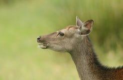 Piękny głowa strzał Sika Cervus Nippon Jeleni karmienie w łące przy krawędzią las Zdjęcie Stock