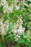 Piękny gałęziasty biały bez kwitnie outdoors Zdjęcia Royalty Free