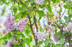 Piękny gałęziasty purpurowy bez kwitnie outdoors obraz royalty free