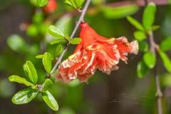 Piękny garnet kwiat w Santiponce Italica blisko Seville, zdjęcia stock