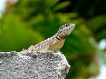 Piękny gekon stoi nad ścianą Obraz Royalty Free