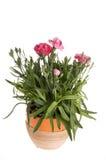 piękny goździka różowa multicolor czerwona wiosna Zdjęcie Stock
