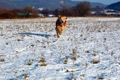 Piękny golden retriever Billy od Sistani zdjęcie royalty free