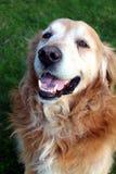 Piękny golden retriever Billy od Sistani obraz royalty free