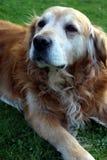 Piękny golden retriever Billy od Sistani zdjęcie stock
