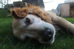 Piękny golden retriever Billy od Sistani obrazy stock