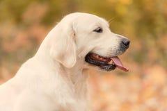 Piękny golden retriever pies w naturze obrazy royalty free