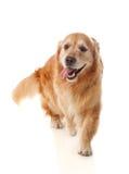 Piękny golden retriever psa traken fotografia stock