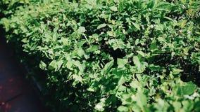 Piękny greenery dekoracyjny Bush w intymnym domu zamyka li?? zdjęcie wideo