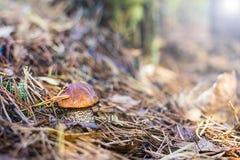 Piękny grzyb w świerkowych igłach obraz stock