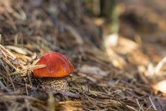 Piękny grzyb w świerkowych igłach Leccinum obrazy royalty free