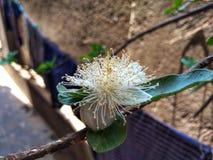 Piękny Guava kwiat z Zielonym liściem fotografia stock