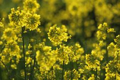 Piękny gwałt kwitnie Brassica napus zakrywa całość pole Zdjęcia Royalty Free
