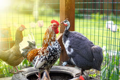 Piękny gwinei ptactwo zdjęcia royalty free